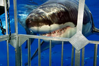 Great white Shark facing steel cage