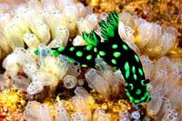 Nudibranch (Nembrotha Cristata) 22157011601| 写真素材・ストックフォト・画像・イラスト素材|アマナイメージズ