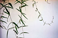 Bamboo leaves against a white wall.