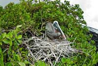 Galapagos Archipelago,Santa Cruz Island,Brown Pel