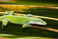 Green Anole Lizard (Anolis Carolinensis Porcatus),c