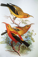 c. 1893-1900 Frederick Frohawk�CNative Hawaiian Birds�CVinta