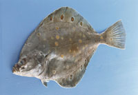 Fresh plaice on blue background