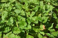 Buckwheat plants in the field