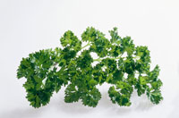 Curled parsley on white background 22199023018| 写真素材・ストックフォト・画像・イラスト素材|アマナイメージズ
