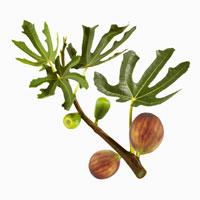 Fresh figs on branch