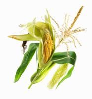 Ripe corn-cob on the plant