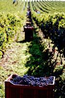 Picking Merlot grapes in France