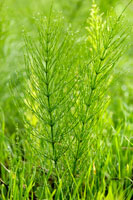 Field horsetail growing in the wild