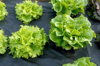 Lollo bionda and romaine lettuce
