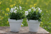Two white horned violet plants