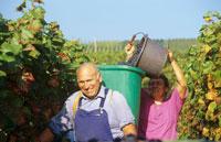 Cheerful grape-pickers