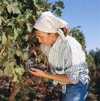 Grape picking in vineyards