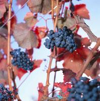 Cabernet grapes in autumnal vineyard