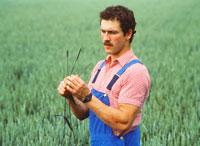 Farmer checking ears of wheat