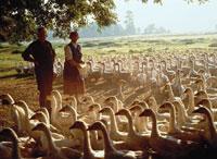 Goose breeding in Lower Saxony