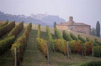 Rows of vines in Barolo wine growing area