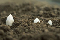 White asparagus tips peeping through the soil
