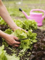 Woman picking lettuce in garden