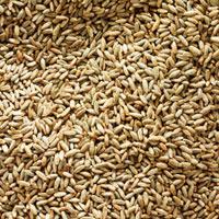 Rye grains (full-frame) 22199056577| 写真素材・ストックフォト・画像・イラスト素材|アマナイメージズ