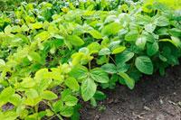 Soya bean plants in vegetable bed