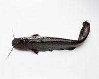A wels catfish