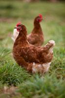 Two free-range hens