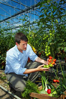 Grower in greenhouse picking tomatoes