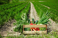 Crate of vegetables at edge of carrot field
