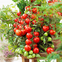 Tomato plant,variety 'Tasty Tom'