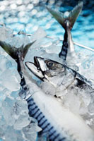 Fresh mackerel on ice cubes