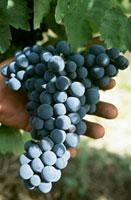 Montepulciano grapes,Abruzzo,Italy