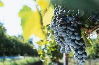 Aglianico grapes,Campania and Basilicata