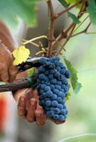 Red Sangiovese grapes (Tuscany,Italy)