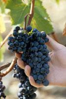 Red Sangiovese grapes (Felsina,Tuscany,Italy)