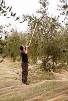 Man Harvesting Olives in Tuscany