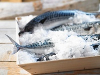 Fresh mackerel on ice