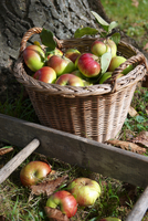 A basket full of organic apples under a tree and a ladder
