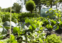 Garden of Decorative Cabbages