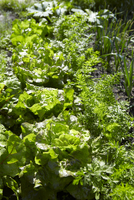 Vegetable bed with lettuce, carrots and spring onions (detai
