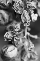 Dried grapes on the vine