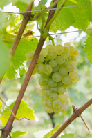 Muscat grapes on the vine (Alsace)