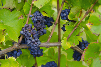 Pinot noir grapes on the vine (Alsace)