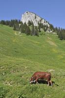 A cow on an alpine meadow