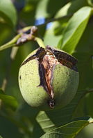 A walnut in its shell on the tree