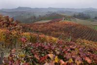A Dolcetto vineyard south of Monferrato d Alba, Piedmont