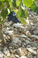 A young Sangiovese vine growing from stony earth, Fonterutol