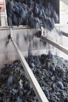Pinot noir grapes being tipped into a destemming machine 22199074870| 写真素材・ストックフォト・画像・イラスト素材|アマナイメージズ