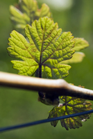 A Raeuschling vine shoot
