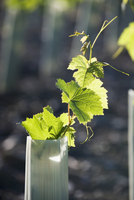 Protected young vines in the evening (Switzerland)